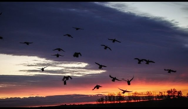 Alberta Pea Field Duck Hunting – Fowled Reality