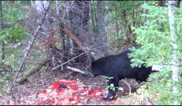 Awesome Black Bear taken with a bow caution very graphic
