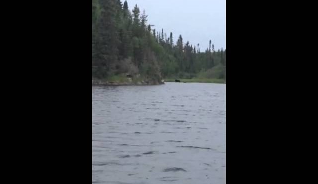 Bear hunting moose – Sioux Lookout