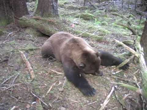 Brown Bear Bow Hunt