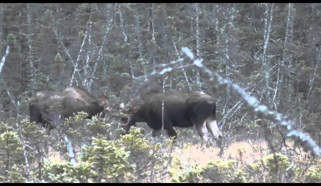 Double Bull Moose Kill