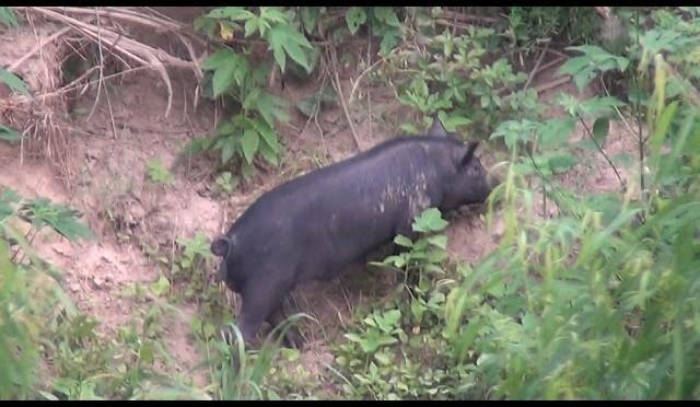 Hog Hunting The River , The Hardest Hunt Ever