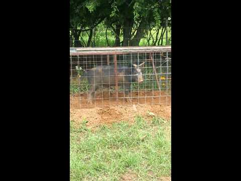 Hog hunting with shotgun