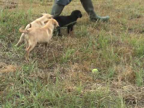 Labrador Retriever Training for Duck Hunting – good start.MPG