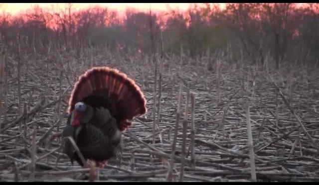 Minnesota Turkey Hunting
