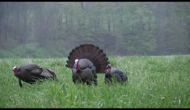 NY turkey hunt May 2, 2012
