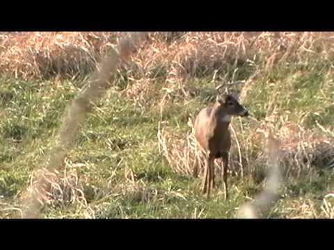 Whitetail Buck vs 12 Gauge Shotgun