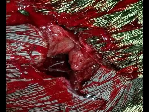 Whitetail Deer Bow Hunt 2014 – Toxic broadhead – 3rd doe with the same head wound hole kill