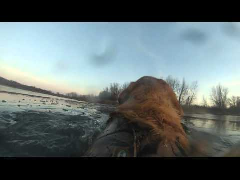 Ace's Icy Mallard Retrieves GoPro Dog Mount Duck Hunting