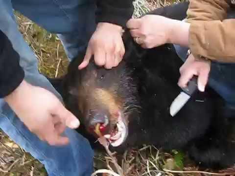 hunting for black bear very scary dangerous coastal bear in whittear Alaska