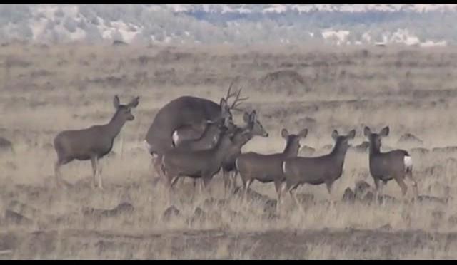 Mating Deer Shot By Hunter – Stuck N the Rut 59