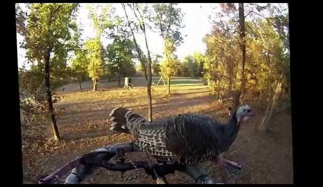 Turkey jumps on hunter during deer hunt.