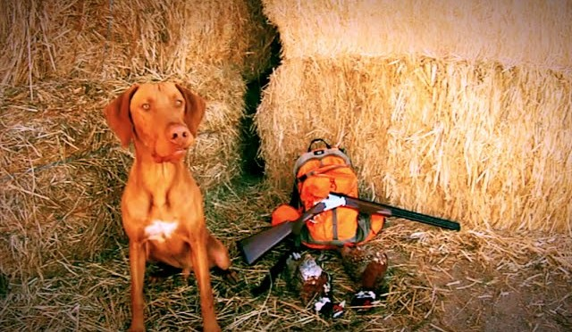 Vizsla Pheasant Hunting
