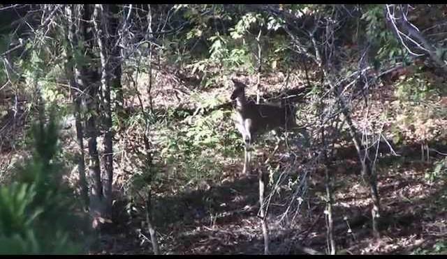 Whitetail Deer Body Language Nervous Deer