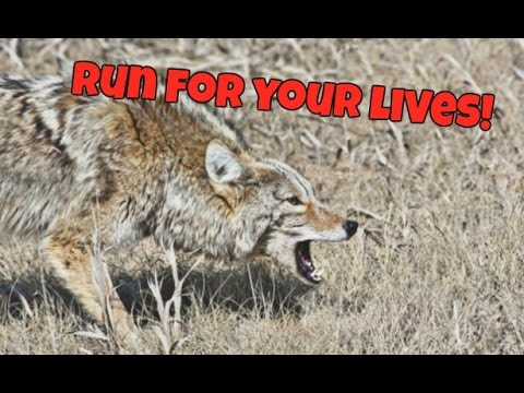 Coyote chased my dog out of cover!!