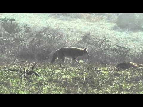 Coyote Half-hearted Hunting