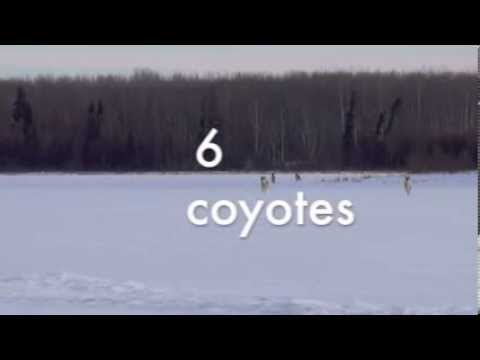 coyote hunting-6 PACK!!!!!