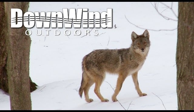 Coyote Hunting: Creepin' In (DownWind Outdoors)