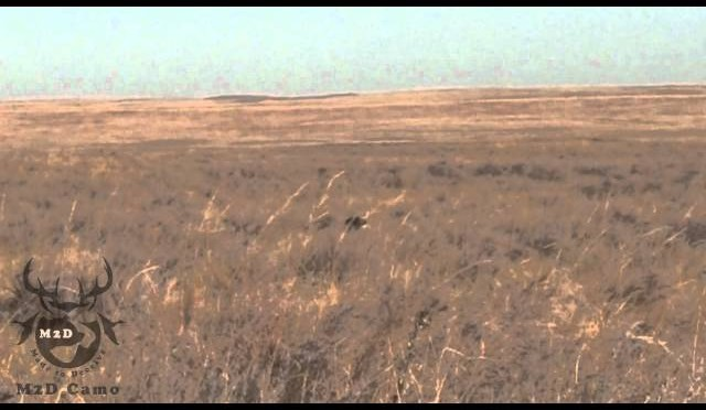coyote hunting – dead coyote – Two if by Shotgun @ 25 and 35 yds