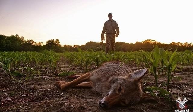 Coyote Hunting Head Shot
