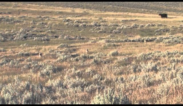 Coyote Hunting in Montana – Montana Doggers Cattle Dog
