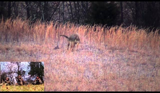Eastern Coyote Hunting: Coming in hot 2013