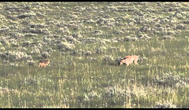 Logan Double –  Coyote Hunting in Montana – Montana Doggers