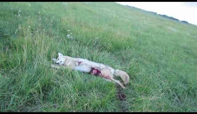 long range coyote hunting – 650 yard double hit