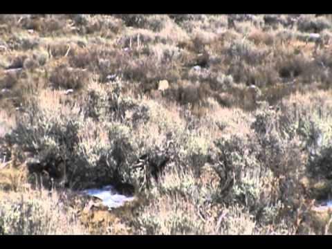 Team Wiley Rocky Mountain Coyote Hunting: Colorado