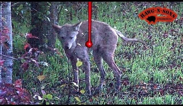 UGLIEST Coyote Kill Shot Ever – Biggest Deer Predator Hunting Lighted Nock