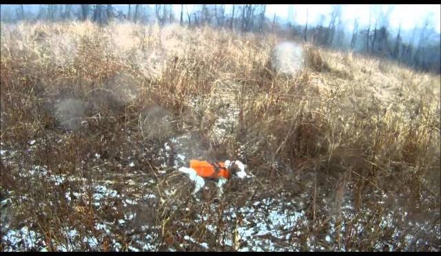 Banjo my brittany hunting pheasant in NJ - HuntingVideosHub com