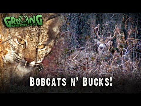 Bucks & Bobcats: Deer Hunting And Trapping In The Late Season