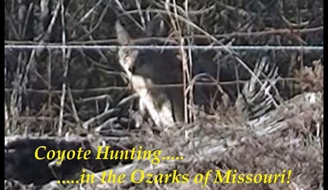 Coyote hunting in the Ozarks of Missouri, SOLO, number 19…..