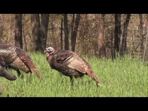 Exciting Turkey Hunting! Full Strut And The Kids Take First Birds!