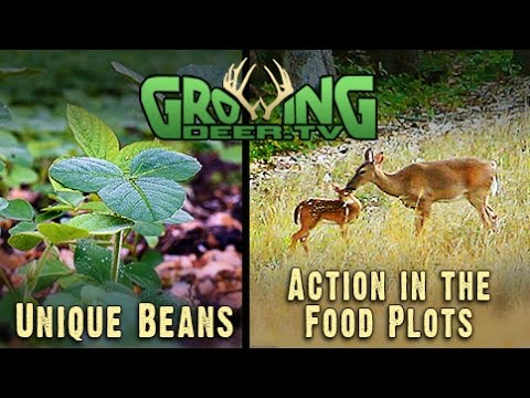 Food Plots: The Best Bean For Bow Hunters