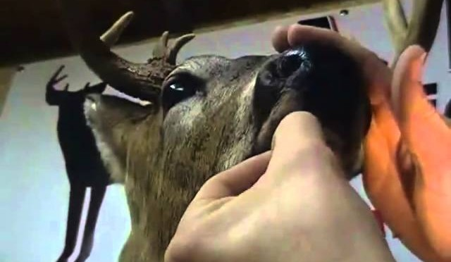 mounting a midwest whitetail 6
