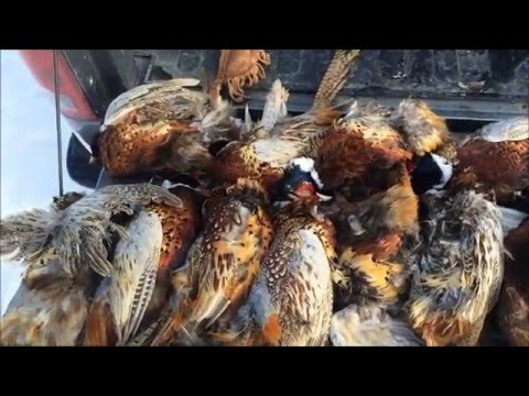 pheasant hunting at the Lazy JW Hunting Club
