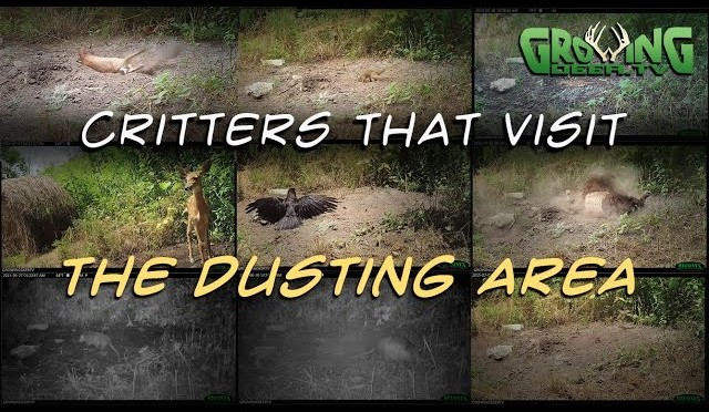 Turkey Hunter Special: Dusting Turkeys And Other Critters