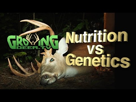 Whitetail Bucks: Antler Size And Genetics, Fact or Fiction?