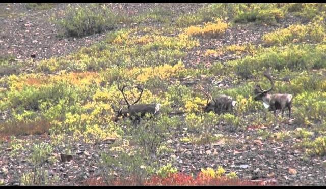2011 Yukon Caribou Hunt