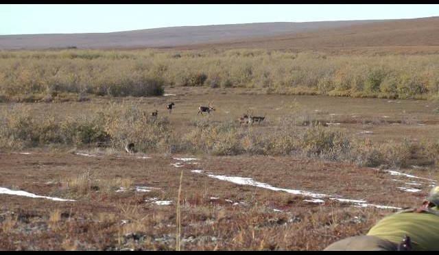 2013 Caribou hunt with 70 North
