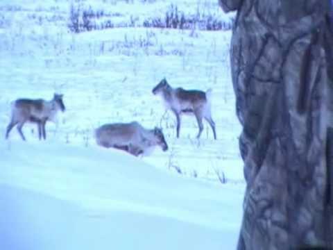 Alaska Caribou Bow Hunting