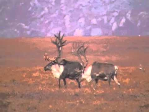 Alaska Grizzly and Caribou Bow Hunting
