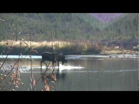 Alaska hunting video billymollsadventures.com moose grizzly brown bear caribou sheep