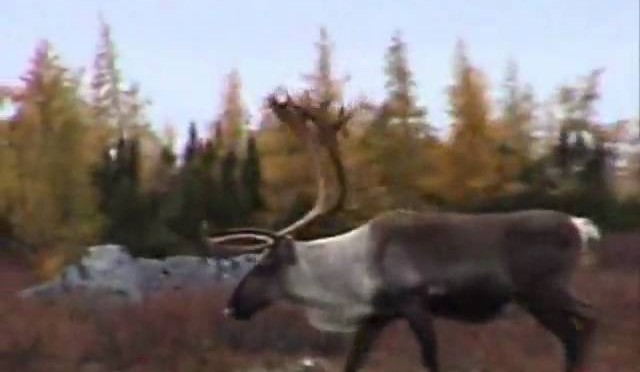Antholz_Caribou_Canadian_SubArctic_Hunting_1_17.wmv