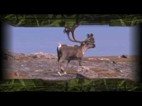 Caribou Hunt with Hunting Canada and Beyond