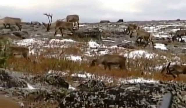 Caribou Hunting Vignette – Late Season – Adventures North