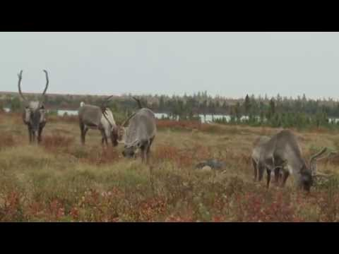 Gangler's Manitoba Monsters Hunting Bear, Moose, Caribou and Wolf