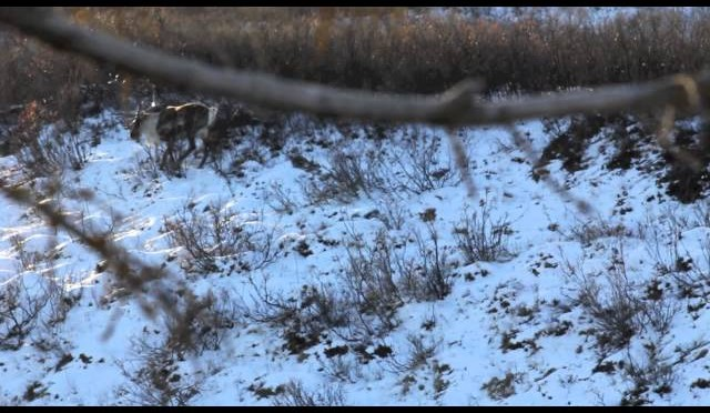 Ginny's Caribou Hunt 2012 Denali Hwy Paxson, Alaska