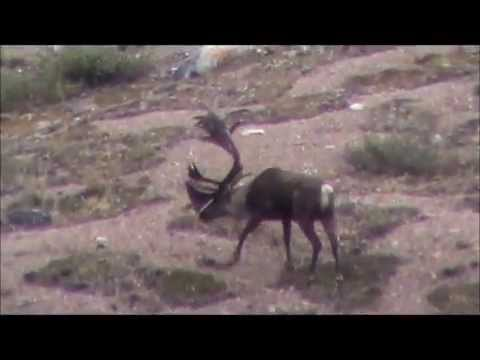 Hunting Dall Sheep, Caribou, Moose with Arctic Red River Outfitters, NWT, Canada